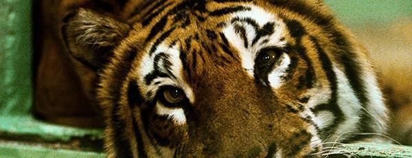 Tigervänner